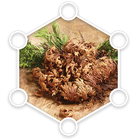 Resurrection Plant Extract